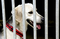 GERMANY, COLOGNE, 16.08.2004, Dog in an animal shelter behind bars. - Cologne, Germany, 16/08/2004