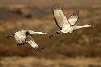 USA, New Mexico, Bosque Del Apache National Wildlife Refuge. Sandhill cranes in flight Credit as: Cathy & Gordon Illg / Jaynes Gallery / DanitaDelimon...