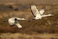 USA, New Mexico, Bosque Del Apache National Wildlife Refuge. Sandhill cranes in flight Credit as: Cathy & Gordon Illg / Jaynes Gallery / DanitaDelimon...