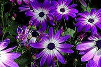 Pericallis hybrid. Senetti is the brand name given to this relatively new collection of pericallis hybrids which has been on the market since 2004. Th...
