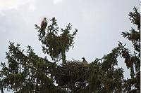 Seeadler (Haliaeetus albicilla) am Horst, Wappenvogel, Nest, Greifvogel, Adler, Spannweite, Nahrungserwerb, (engl. white-tailed sea eagle) - Feldberg,...