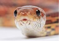 corn snake (Elaphe guttata)  - 10/02/2006