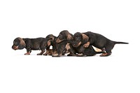 dachshund, sausage dog, domestic dog (Canis lupus f. familiaris), four puppies  - 04/07/2006