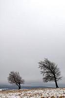 Durch stetigen Wind schief gewachsene Buchen auf einer Freiflõche im Hochschwarzwald. - Hochschwarzwald bei Freiburg, GERMANY, 07/11/2007