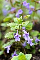 Ground ivy (Glechoma hederacea).