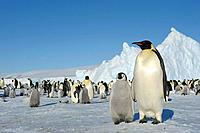 ANTARCTICA, WEDDELL SEA, SNOW HILL ISLAND, EMPEROR PENGUIN COLONY Aptenodytes forsteri WITH CHICKS, , ADULT WITH CHICK IN FOREGROUND.