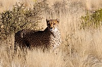 NAMIBIA , KEETMANSHOOP, 20.07.2009, Cheetah in a savannah landscape - Keetmanshoop, Namibia, 20/07/2009
