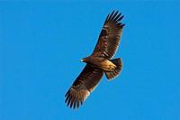 Schelladler, Greater Spotted Eagle, Spotted Eagle, Aquila clanga, Aigle criard, Águila Moteada - Oman, 01/01/2010