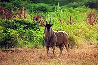 Eland (Taurotragus oryx), bull