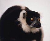 Black and white ruffed lemur, close up