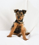 Sitting Terrier Puppy (Canis familiaris), front view