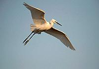 Little Egret (Egretta garzetta) in flight, Lesbos, North Aegean, Greece