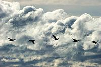 Great Black Cormorants (Phalacrocorax carbo) in flight, Point Pelee Nationalpark, Lake Erie, Ontario Province, Canada