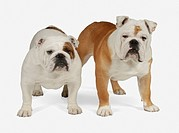 Two Bulldogs standing, looking at camera