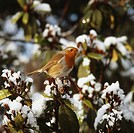 Robin perching on snow-covered branch.