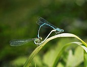 Two damselflies mating on a reed