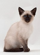 Sitting siamese cat.
