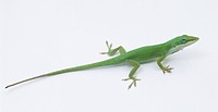 Carolina Anole lizard (Anolis carolinensis), side view
