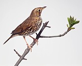 Side view of a Song Thrush with head in profile, perching on a branch in upright posture, showing the slender bill, boldy spotted breast and belly, lo...
