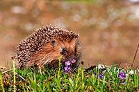 Western hedgehog, European hedgehog (Erinaceus europaeus), in a mountain meadow with snowbell, Switzerland, Alpstein, Schwaegalp