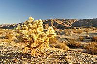 Teddybear Cholla cactus (Opuntia bigelovii), 29 Palms, Mojave Desert, California, USA