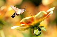 hummingbird hawkmoth (Macroglossum stellatarum), sucking nectar from a georgina, Germany