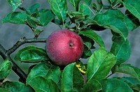 Malus 'Lobo' (Lobo apple), single red apple on branch