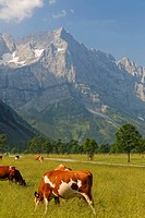 Austria, Tyrol, View of Cow in meadow with mountain in background