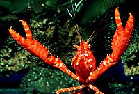 Red reef lobsters (Enoplometopus occidentalis), portrait worms-eye view
