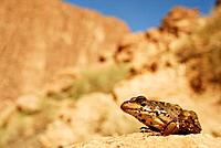 "Common saharian frog """"Pelophylax saharicus"""" near Tizguit in Todra gorge, Morocco."