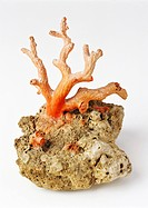 Red coral from the Mediterranean