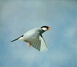 Java Sparrow - In flight side view wings down, cage bird (Padda oryzivora)