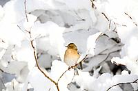 Chaffinch - female in snow (Fringilla coelebs)