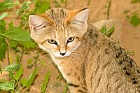 Sand Cat (Felis margarita harrisoni)