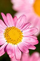 Marguerite Daisy - pink flowers (Argyranthemem frutescens)