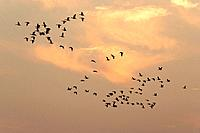 Greylag Geese - group in flight at sunset (Anser anser)