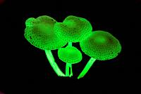 Fluorescent fungus (Mycena illuminans)