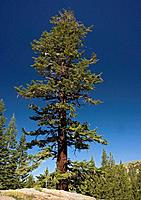 Red fir tree - at c. 9500 in the Sierra Nevada (Abies magnifica)