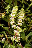 Coral Necklace, a New Forest rarity. (Illecebrum verticillatum)