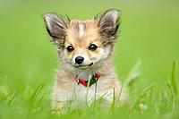Chihuahua puppy in grass, portrait