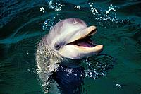 Bottlenosed Dolphin (Tursiops truncatus)