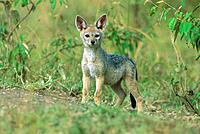 Black-backed Jackal - pup outside den (Canis mesomelas)