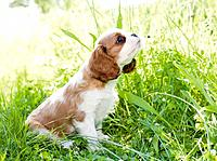 Cavalier King Charles Spaniel. Puppy in grass
