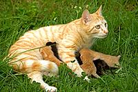 Cat - European short-haired red tabby with kittens