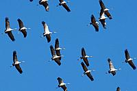 Common Crane - in flight (Grus grus)