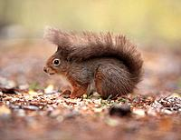 Scotland, Highland, Cairngorms. Red Squirrel in the Cairngorms in Scotland.