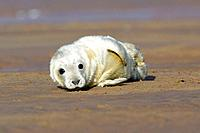 Grey Seal - pup lying on beach (Halichoerus grypus)