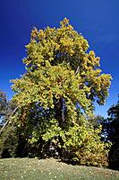 Tulip Tree - autumn (Liriodendron tulipifera)