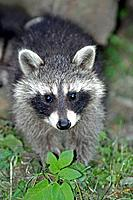 Raccoon - baby animal searching for food (Procyon lotor)