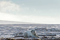 Polar Bear (Ursus maritimus), male lying on the beach, Kvitøya, Svalbard Archipelago, Svalbard and Jan Mayen, Norway